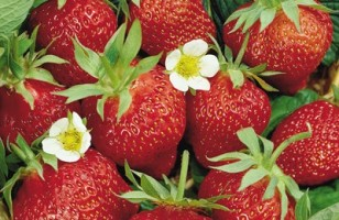 strawberries_in pots
